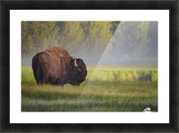 Bison in Morning Light Picture Frame print