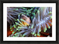Clownfish Picture Frame print