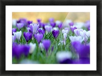 Amongst the crocuses Picture Frame print