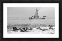 Seals by Oil Drill  Picture Frame print