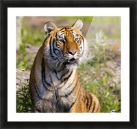 Tiger Watching Picture Frame print