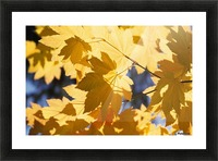 Vine Maples Leaves In Autumn Picture Frame print