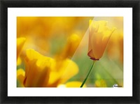 Yellow Poppy Picture Frame print