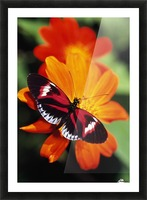 Butterfly On Flower Picture Frame print