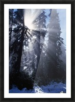 Sunbeams Through Pine Trees Picture Frame print