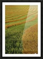 Rows Of Canola Windrows Picture Frame print