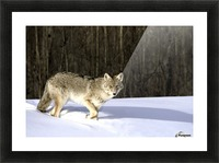 Coyote In Winter Picture Frame print