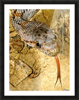 Baird's Rat Snake Tongue Flick Picture Frame print