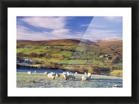 Sperrin Mountains, County Tyrone, Ireland, Sheep Picture Frame print
