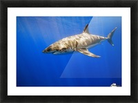 Great White Shark Picture Frame print