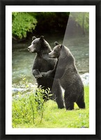 Two Grizzly Bears Picture Frame print