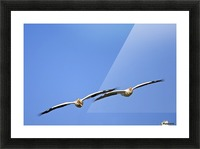 Two Pelicans In Flight Picture Frame print