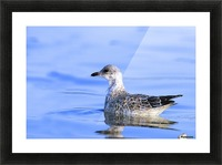 Young Gull Swimming Picture Frame print