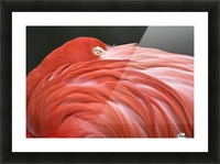 Close Up Of A Flamingo Resting Its Head On Its Back Picture Frame print