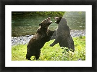 Two Grizzly Bears Fighting Picture Frame print