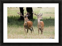 Elk In The Wild Picture Frame print