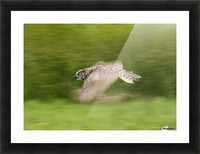 Great Horned Owl (Bubo Virginianus) Picture Frame print