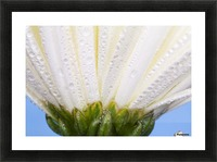 White Flower Head With Dew Picture Frame print