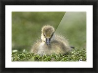 Fuzzy Gosling Picture Frame print