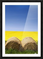 Hay Bales And Canola Field, North Yorkshire, England Picture Frame print