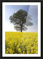 Tree In A Rapeseed Field, Yorkshire, England Picture Frame print