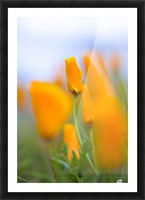 Furled Poppy Picture Frame print
