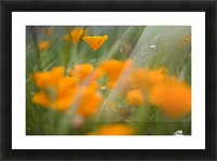 Close Up Of Orange Poppy Flowers Picture Frame print