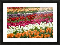 A Tulip Field Picture Frame print
