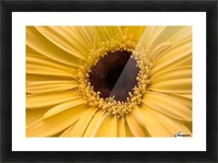 Close Up, Gerbera Daisy Picture Frame print