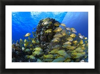 Schooling Bluestriped Grunt (Haemulidae Sciurus) Fish On Coral Reef, Cozumel, Mexico Picture Frame print