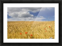 Wild Poppies In Wheat Field, North Yorkshire, England Picture Frame print