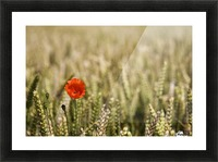 Poppy Flower In Field Of Wheat Picture Frame print