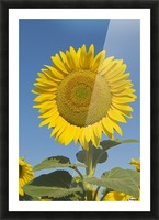 Sunflower (Helianthus Annuus) Picture Frame print