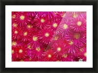 Trailing Ice Plant (Lampranthus Spectabilis) Picture Frame print