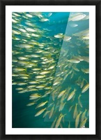 Bigeye Snappers (Lutjanus Lutjanus) Picture Frame print