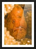 Spotfin Frogfish (Antennarius Nummifer) Picture Frame print