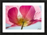 Pink Shirley Poppy Picture Frame print