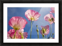 Shirley Poppies Picture Frame print