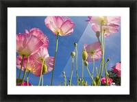 Shirley Poppies (Papaver Rhoeas), Oregon, Usa Picture Frame print