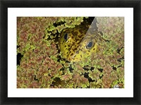 American Bullfrog (Rana Catesbeiana), California, Usa ; Bullfrog Hiding In Duckweed Picture Frame print