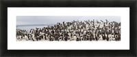 Northumberland, England; Flock Of Guillemot Picture Frame print