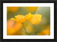 Yellow Poppy Flower, Mount Hood, Oregon, Usa Picture Frame print