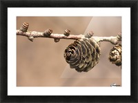 A Conifer Cone On A Tree Branch Picture Frame print