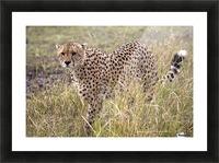 Cheetah (Acinonyx Jubatus), Masai Mara National Reserve, Kenya, Africa; Cheetah On The Prowl Picture Frame print