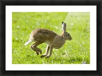 Hare Hopping In The Grass Picture Frame print