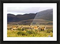 Island Of Islay, Scotland; Male Deer Roaming The Hills Picture Frame print