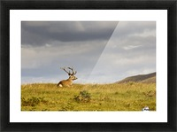 Island Of Islay, Scotland; Buck Resting On A Hill Picture Frame print
