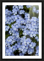 Victoria, British Columbia, Canada; Blooming Blue Flowers Picture Frame print