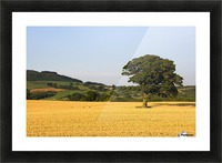 Tree In A Golden Field Of Grain, North Yorkshire, England Picture Frame print