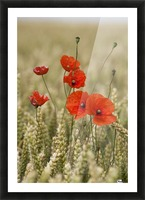 Wildflowers; Poppies In A Grain Field Picture Frame print